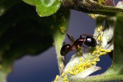 Ant and aphids Stock Images