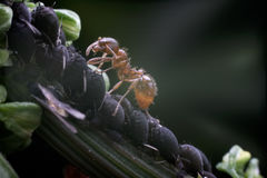 Ant and Aphids Royalty Free Stock Image
