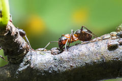 Ant aphids suck. The sweet juice Stock Image