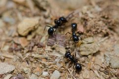 Ant attacking to another one biting one leg. Monfrague National Park. Caceres. Extremadura. Spain royalty free stock image