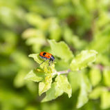 Ant bag beetle. In natural green ambiance at spring time Stock Photos