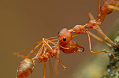 Ant. Beautiful Details & Close Up Of Ant Royalty Free Stock Images