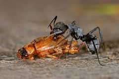Ant and beetle Royalty Free Stock Photos