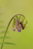 Ant on a bird vetch Royalty Free Stock Image