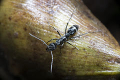 Ant, Black ant Royalty Free Stock Photography