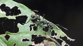 Ant, Black ant Royalty Free Stock Photo