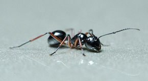 Ant, Black ant Stock Photos