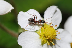 Ant on bloom Stock Images
