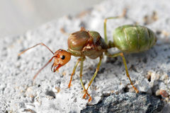 Ant boss. Ant green boss person lonely Royalty Free Stock Image