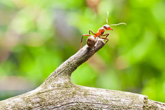 Ant on a branch close-up Royalty Free Stock Photo