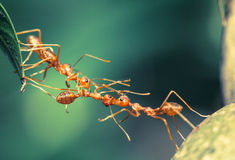 Ant bridge teamwork. Red ant made bridge teamwork Royalty Free Stock Photo