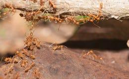 Ant bridge unity Royalty Free Stock Photo