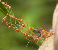 Ant bridge unity. In the nature Stock Photography