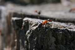 Ant brown red is climbing at the rock. Brown red Ant is climbing at the rock at the forest Stock Photo