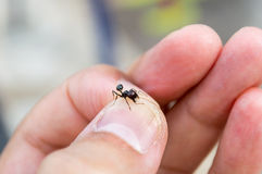 Ant captured Royalty Free Stock Images
