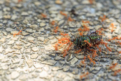Ant carry a bug for food Stock Photo