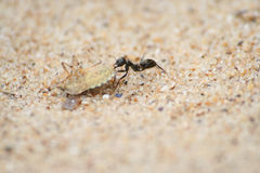 Ant carrying a big bug on the sand.  Royalty Free Stock Images