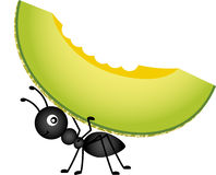Ant carrying a cantaloupe melon Royalty Free Stock Photo