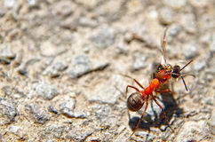 Ant carrying dead insect Royalty Free Stock Image