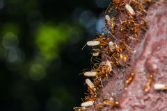 Ant are carrying eggs Royalty Free Stock Image