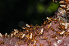 Ant are carrying eggs Stock Images