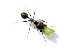 Ant carrying food. Isolated in white background Royalty Free Stock Photo