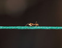 Ant carrying food on a rope Royalty Free Stock Photography
