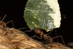 Ant Carrying Leaf Macro royalty free stock photography