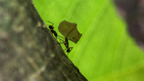 Ant carrying leaves on the tree Stock Image
