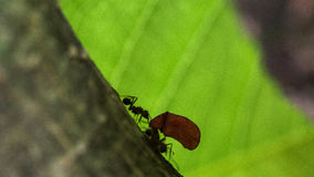 Ant carrying leaves on the tree Stock Photography