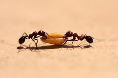 Ant carrying Wheat Grain Royalty Free Stock Images