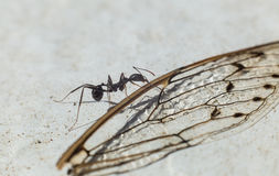 Ant carrying wing Royalty Free Stock Photo