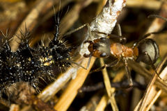 Ant and caterpillar Royalty Free Stock Photo