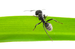 Ant climb over grass blade Royalty Free Stock Photography