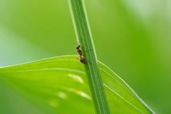 Ant Climbing Green Grass Imagen de archivo libre de regalías