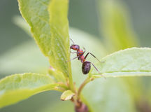 Ant climbing. Picture of an ant climbing searching for food Stock Photo