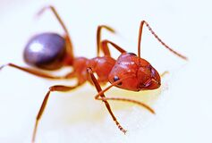 Ant close up Royalty Free Stock Photo