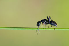 Ant. The close-up of a black ant on grass stem Royalty Free Stock Photos