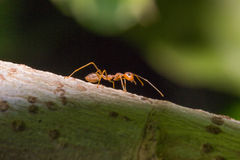 Ant Royalty Free Stock Photography