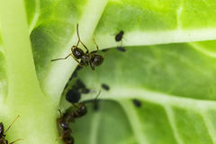 Ant close-up Stock Photography