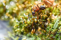 Ant closeup cladonia red water. Natural animal background with red ant closeup in a moss near water royalty free stock image