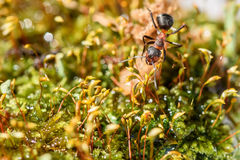 Ant closeup cladonia red water. Natural animal background with red ant closeup in a moss near water royalty free stock photo