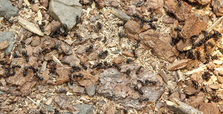 Ant colony. Black ants in an ant colony in their natural environment on a forest floor stock image