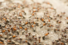 Ant Colony Royalty Free Stock Image