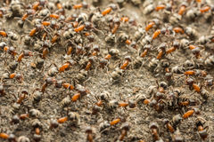 Ant Colony Royalty Free Stock Photo