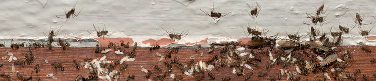 Ant colony migration Stock Photography