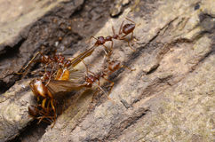 Ant colony. Were hunting in the woods Stock Photos