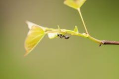 Ant Crawling sur des feuilles de branche d'arbre de Redbud Photos libres de droits