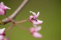 Ant Crawling sur la fleur d'arbre de Redbud au printemps Photographie stock libre de droits
