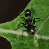 Ant crawling to the edge of a leaf. Ant crawling towards the stalk of a plant stock photos